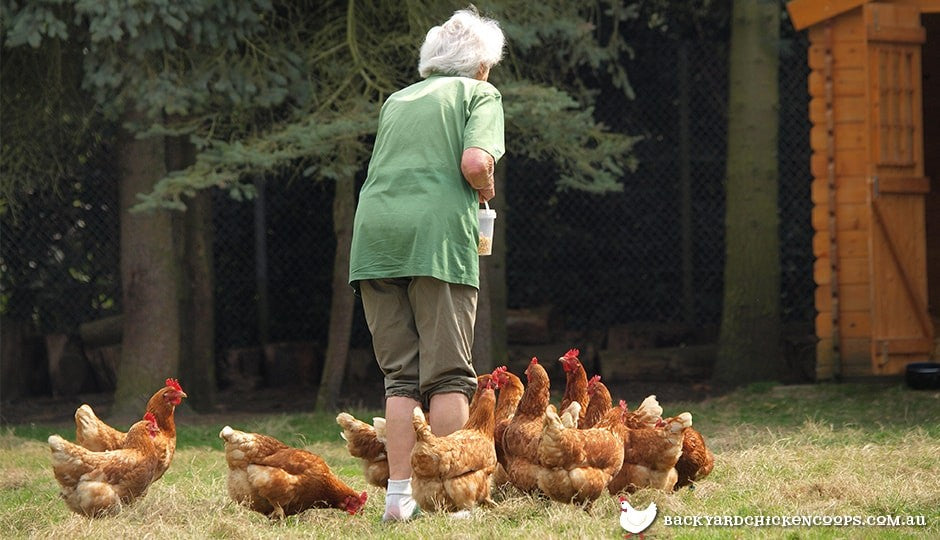 senior chicken keeper giving treats to backyard chicken flock