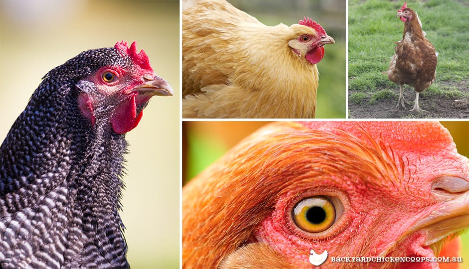different-signs-to-tell-if-your-flock-is-sick-or-healthy