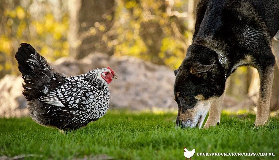 dogs can be the best friend for your flock