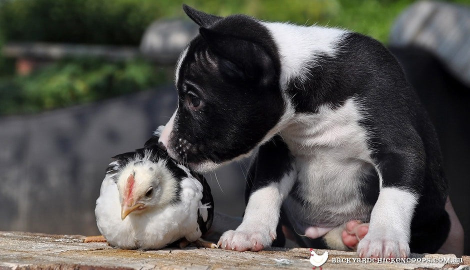 it's easy to train your dog to get along with and protect your chickens