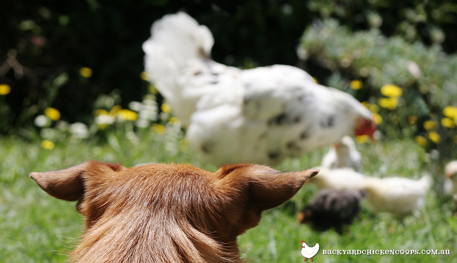 Dog watching over chickens