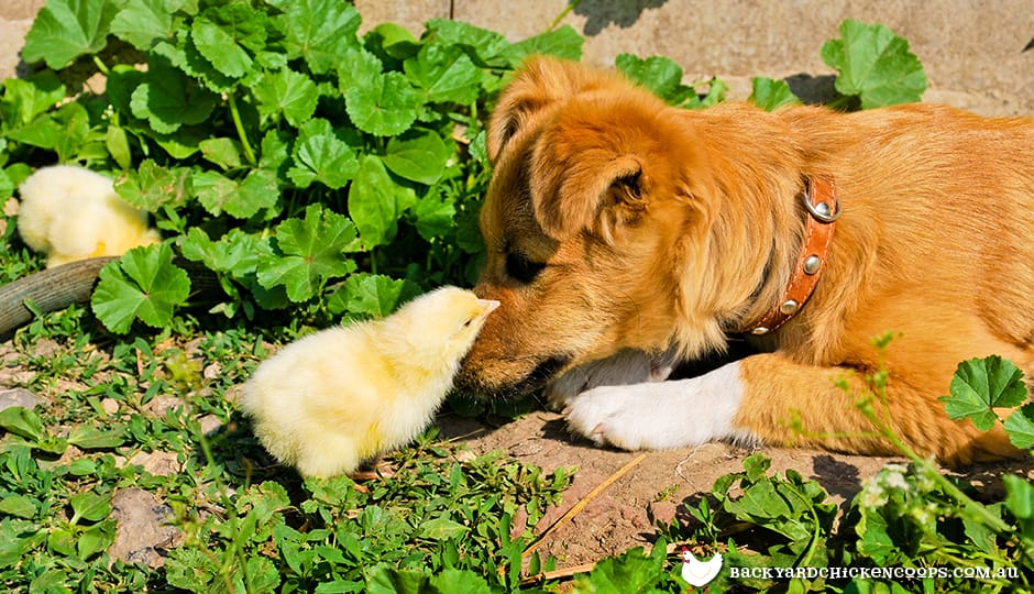 dogs-and-chickens-can-become-inseparable
