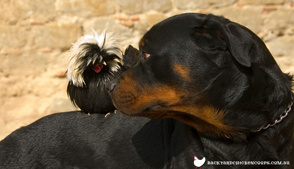 dogs-will-eventually-mingle-with-your-chickens-by-themselves
