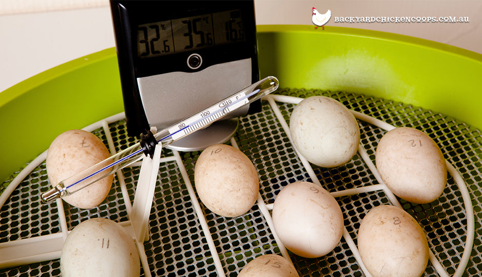 chicken eggs in egg incubator