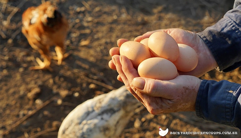 backyard chickens can supply you with all the delicious eggs you need
