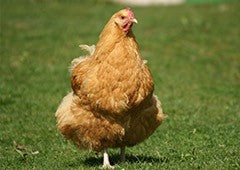 fat-orpington-chicken