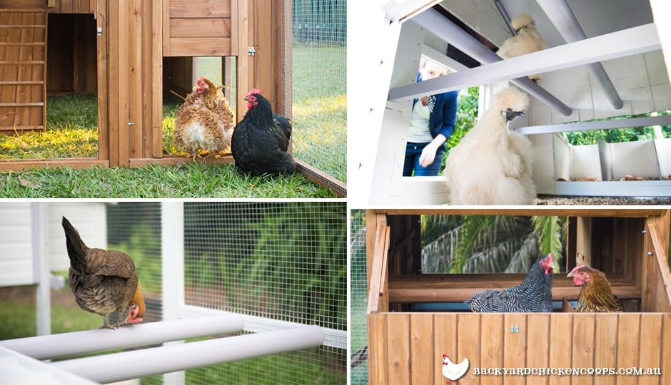 features-of-good-backyard-chicken-coops