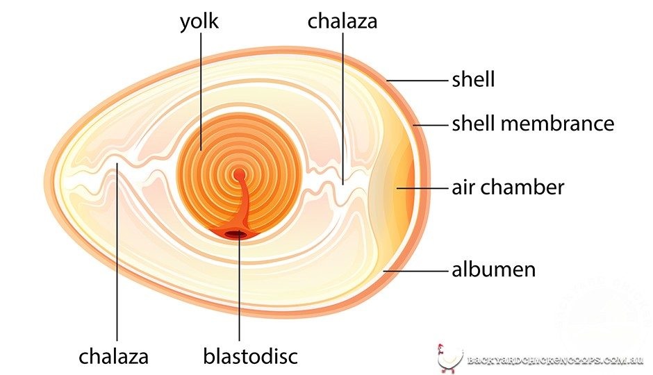 Fertilized chicken egg diagram