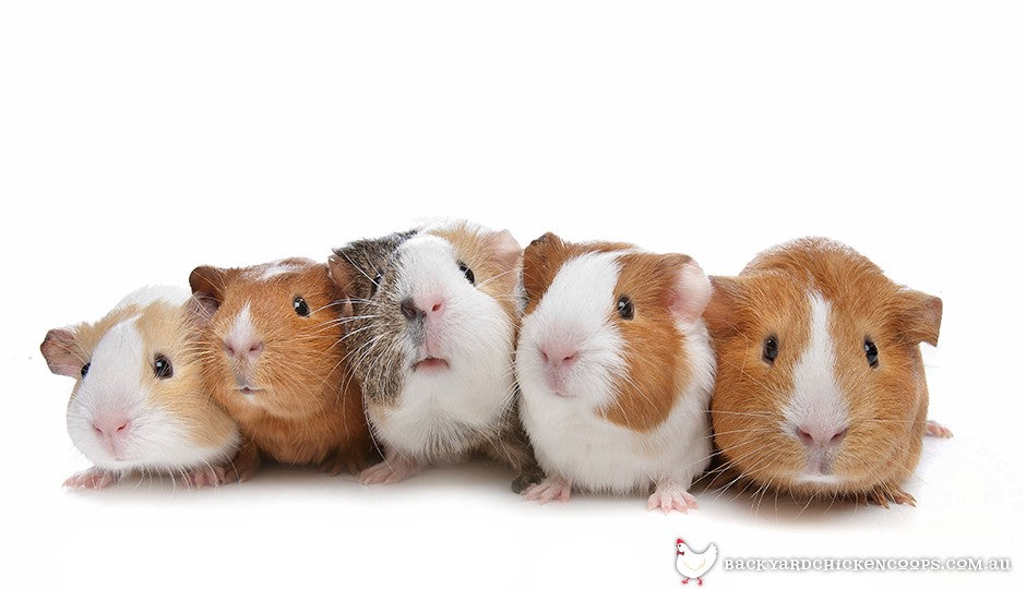 guinea pigs come in all shapes and sizes