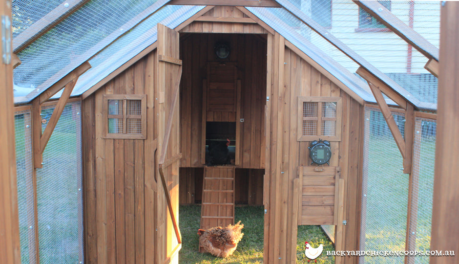 frizzle chicken in mansion coop chicken wire run
