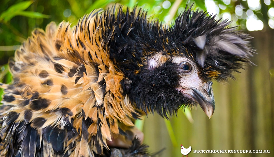 frizzle-chickens-are-fabulous-and-frizzled