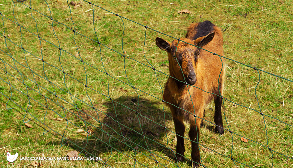 A Guide to Using Electric Fencing for Goats and more