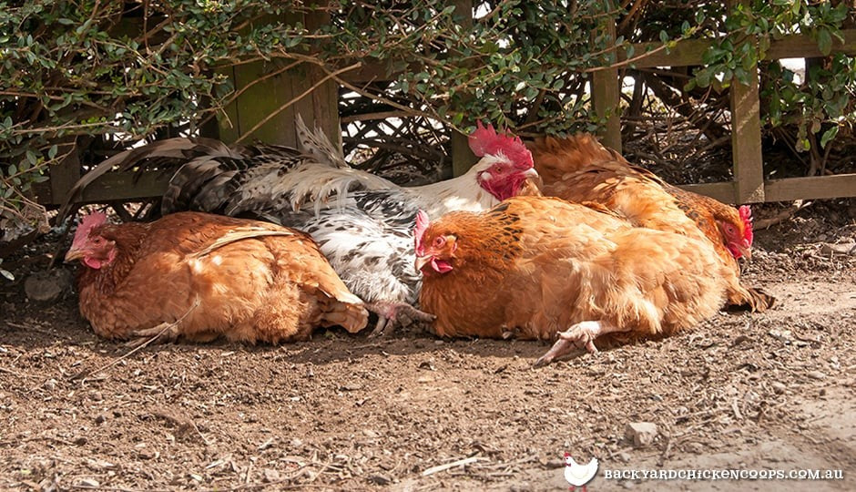 chickens find comfort dust bathing in the shade on a hot day