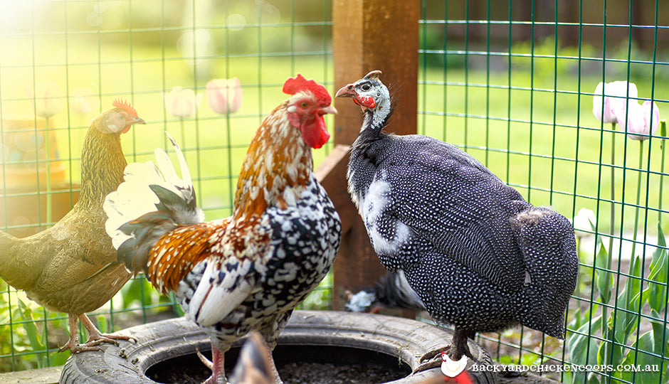 guinea fowl and chicken in backyard chook coop
