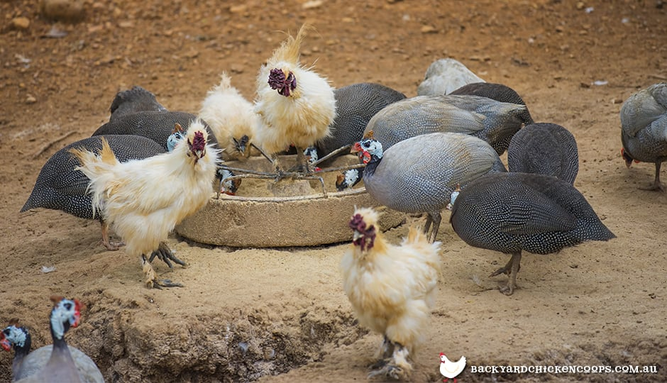 Chickens And Guinea Fowl How To Make This Quirky Dynamic Work