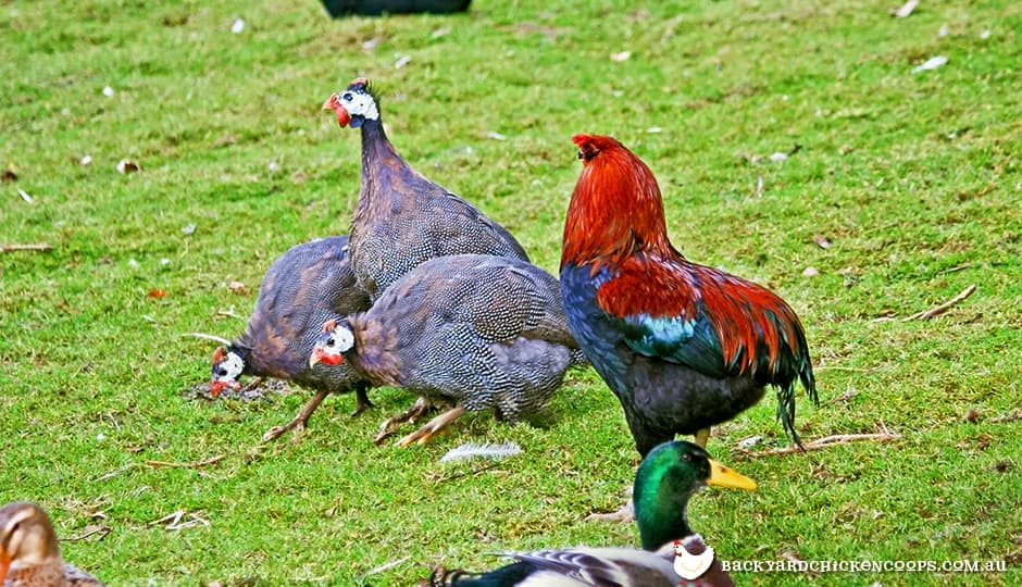guinea-fowl-and-roosters-are-best-to-be-separated