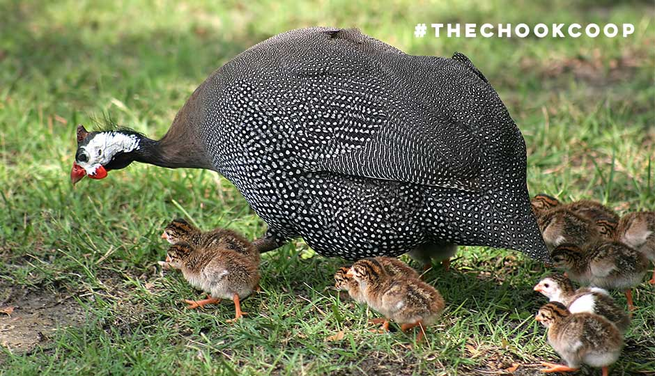 guinea fowl with keets in backyard