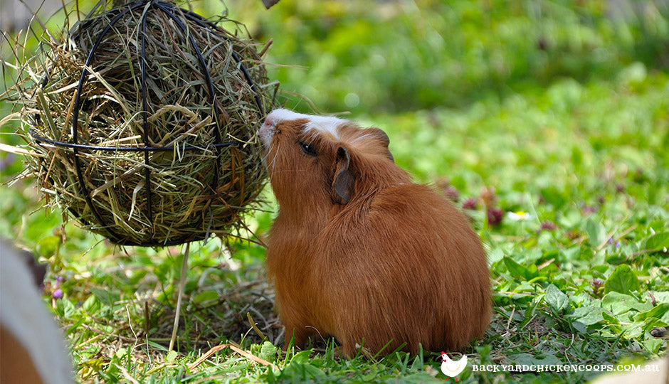 guinea pig eating hay in treat ball