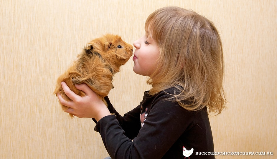 guinea-pigs-are-great-pets-for-children