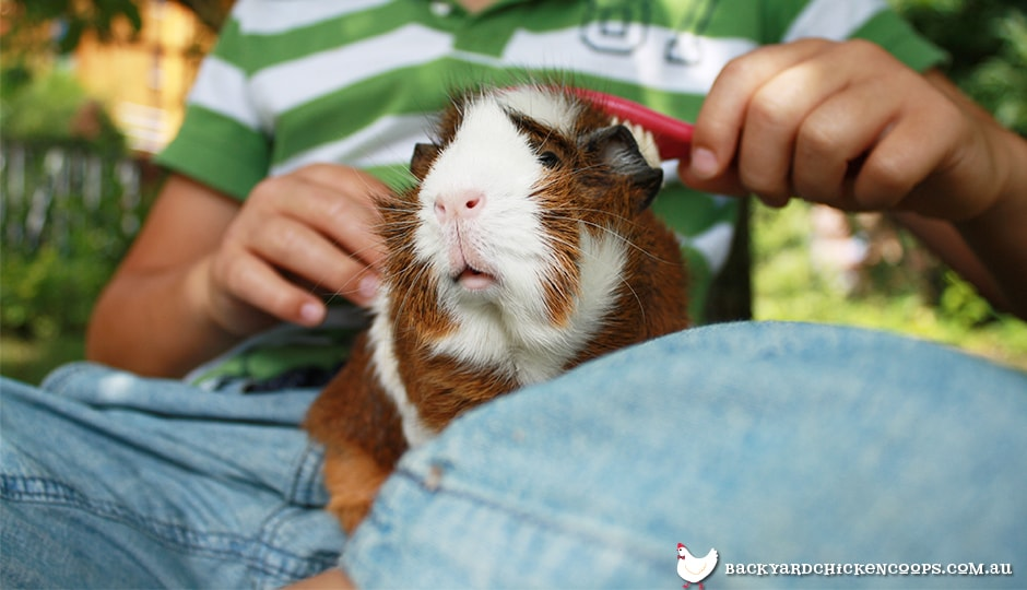 guinea-pigs-are-low-maintenance