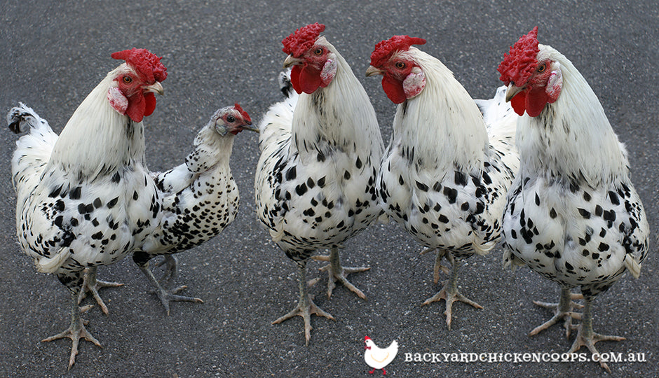 hamburg chicken breed hen roosters