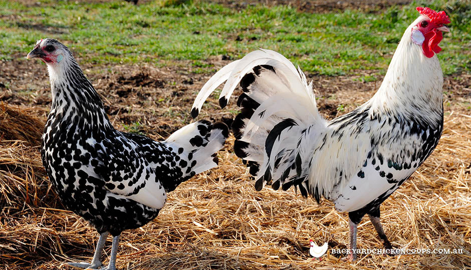 The Ultimate List Of Chicken Breeds Available In Australia