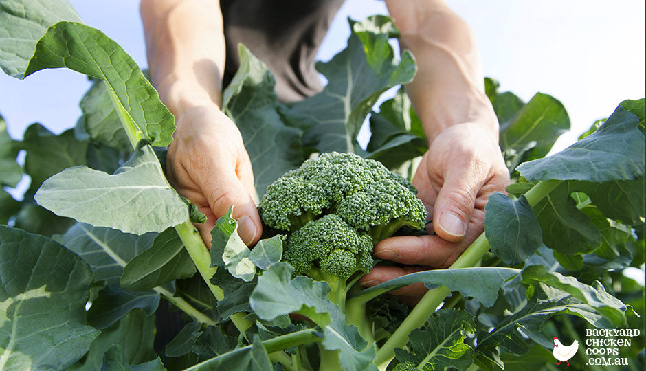 Hands reaching down to harvest garden grown broccoli.