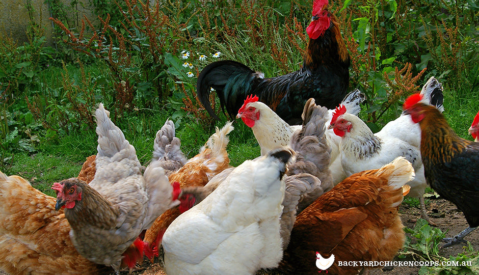 Healthy backyard chicken flock with rooster