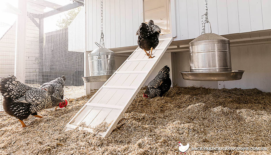 hemp bedding in mansion coop with wyandotte chickens