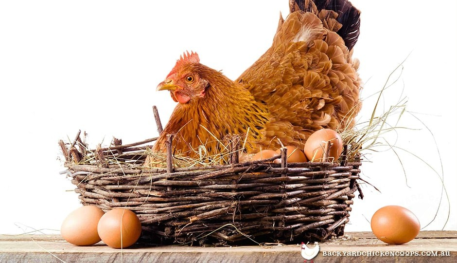 Chicken Sitting On Eggs: How To Stop A Hen From Being Broody