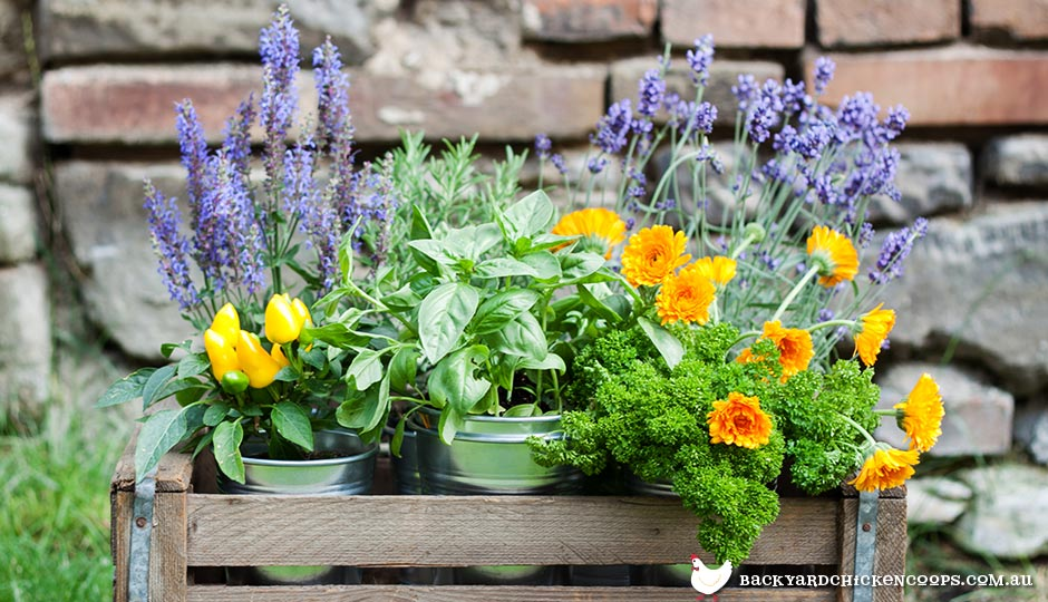herbs-and-flowers-you-can-add-to-your-chickens-nesting-box
