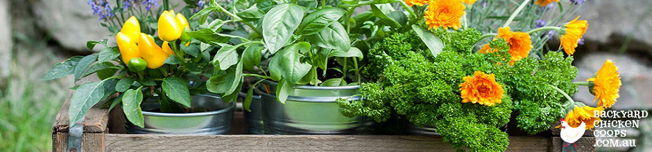 Tasty herbs that improve chickens health in garden.