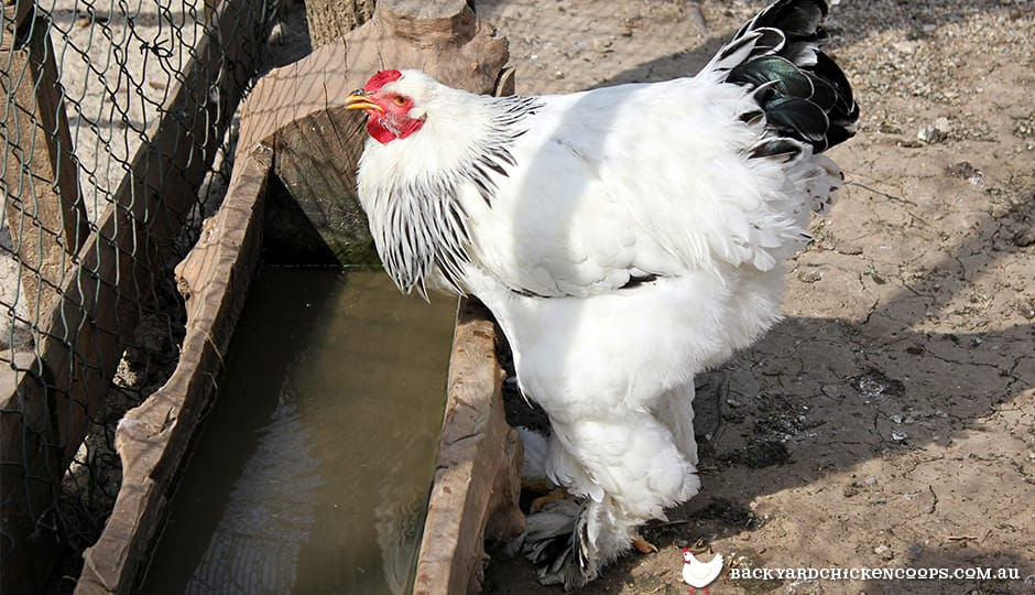 chickens need to drink plenty of water