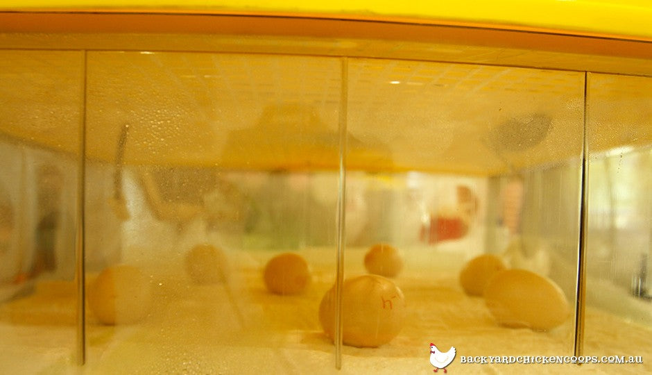 an incubator is an easy and effective way of hatching fertile chicken eggs