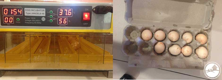 you should put a full clutch of eggs in your incubator to increase your chances of hatching chicks