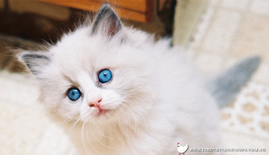 Cute blue eyed kitten