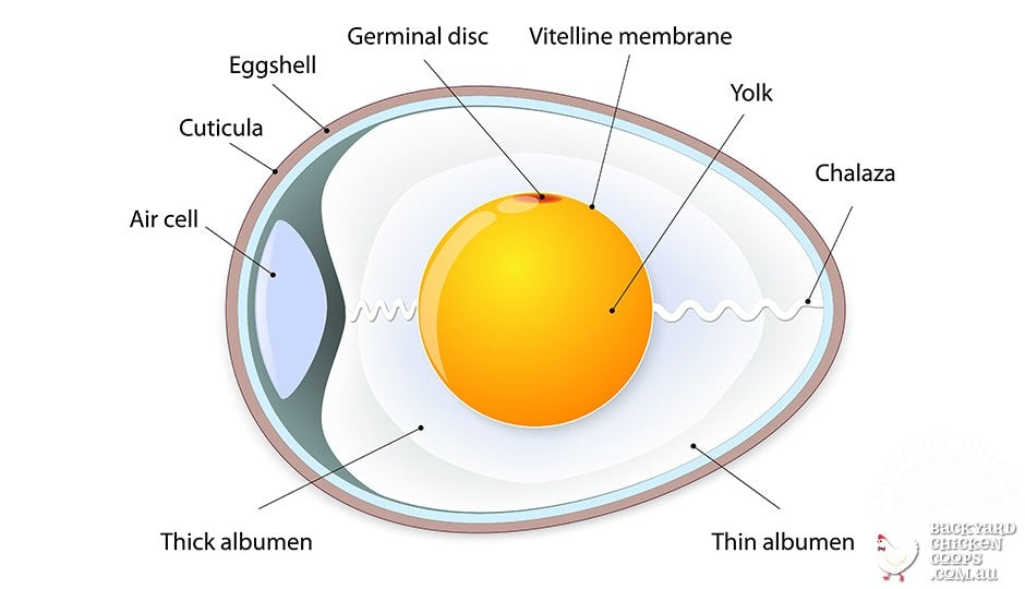 infographic-about-egg-anatomy