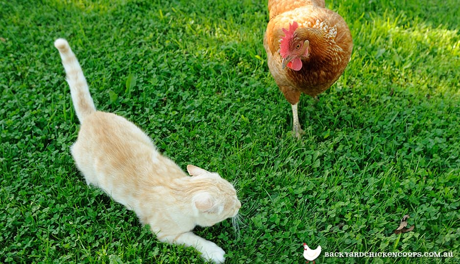 introducing-cats-and-chickens