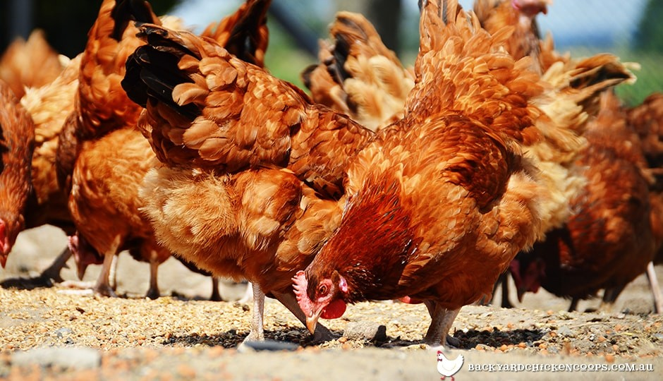 isa-brown-chickens-eating