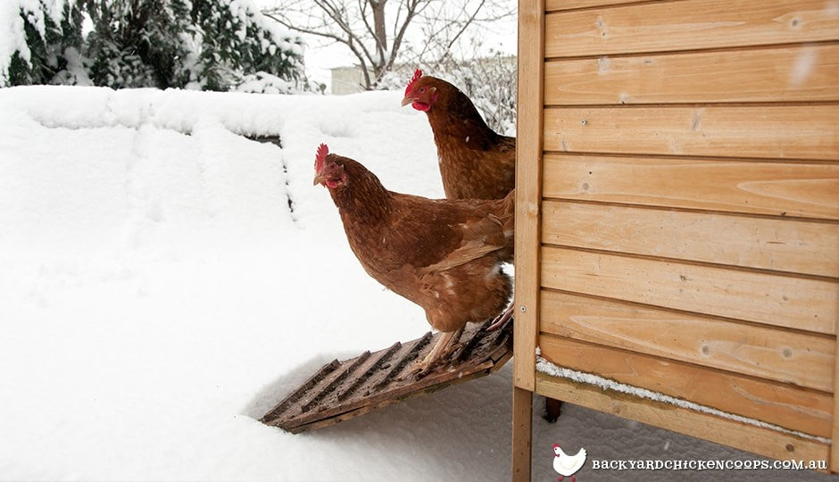 isa-brown-hens-in-winter