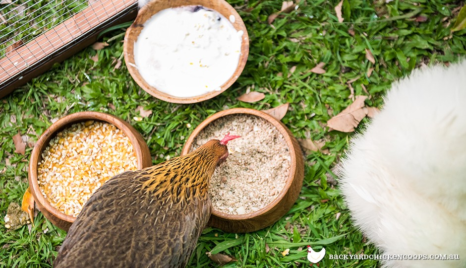 Jungle fowl chicken eating shell grit cracked corn and yoghurt in backyard