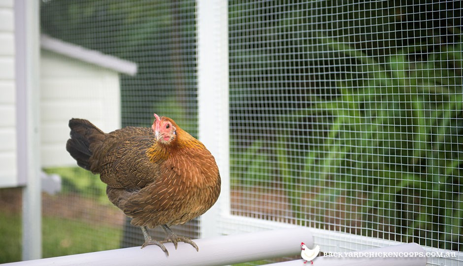 Red jungle fowl chicken in Penthouse backyard chicken coop