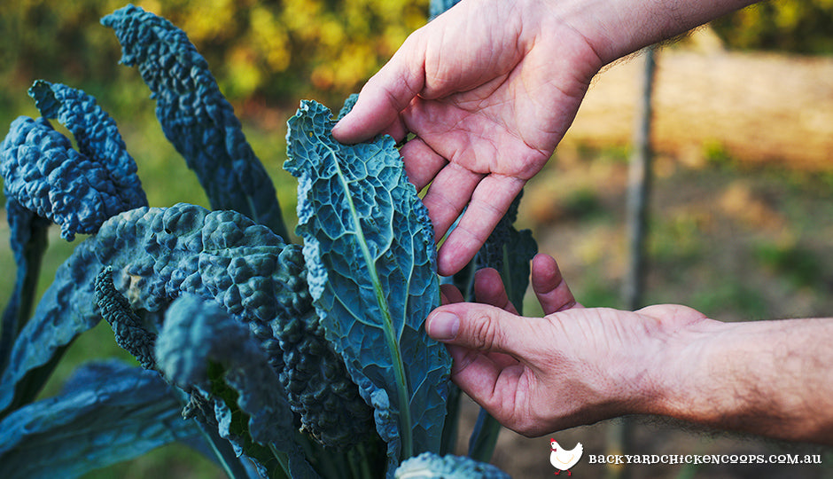 Kale being harvested in backyard vegetable patch