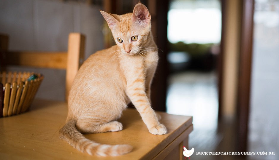 Orange tabby kitten on kitchen table