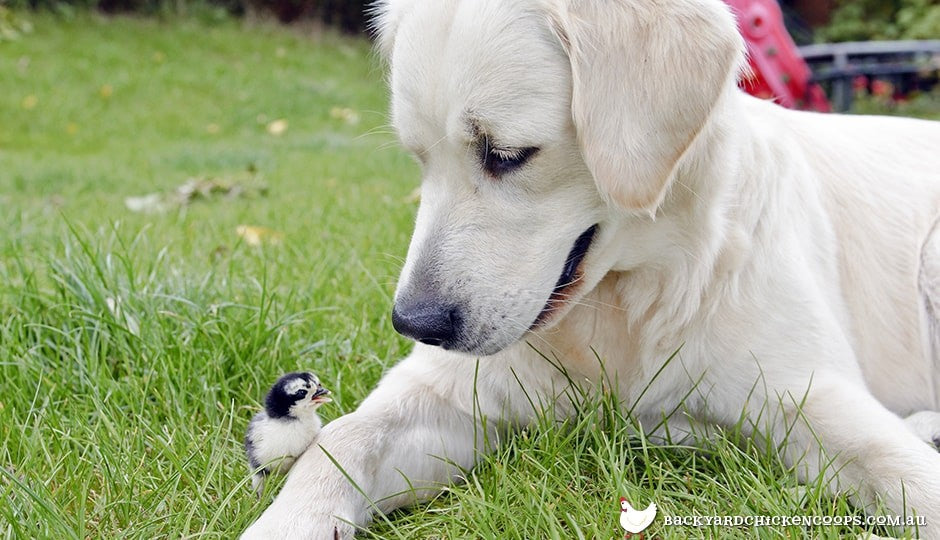 labrador-and-chick