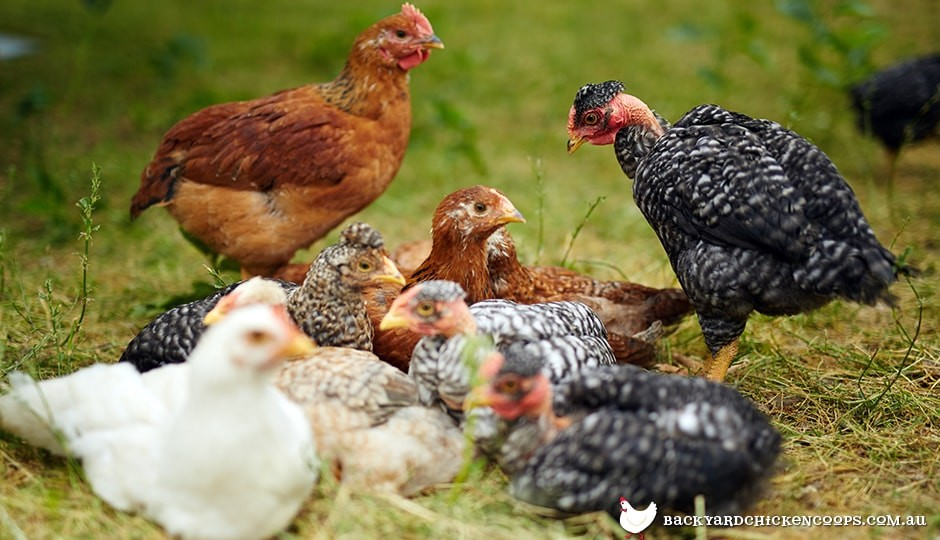 large-group-of-pullets