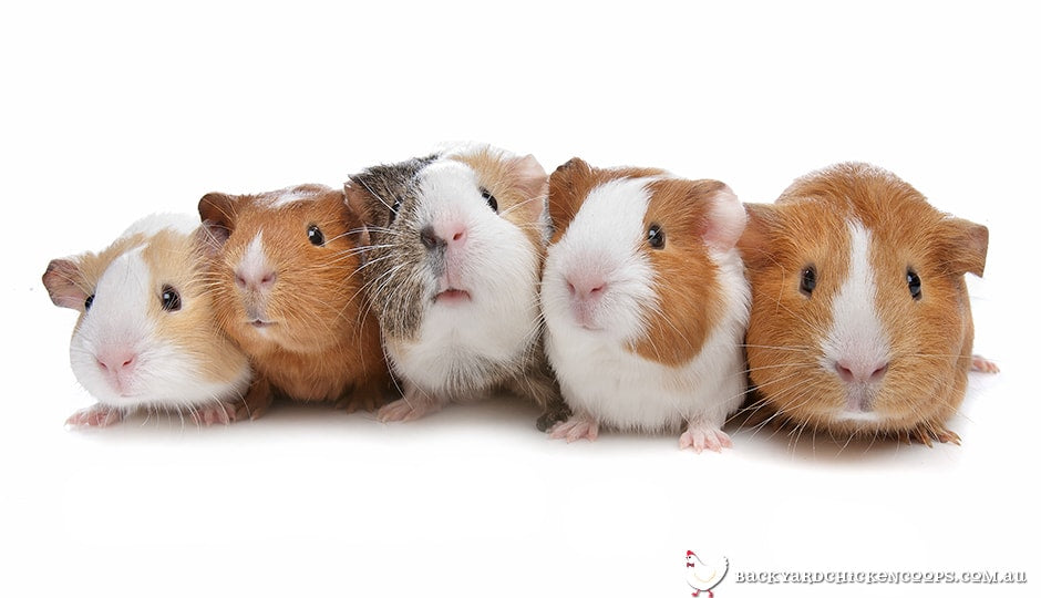 large-variety-of-guinea-pigs