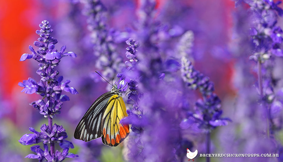 Butterfly pollinating lavender flowers