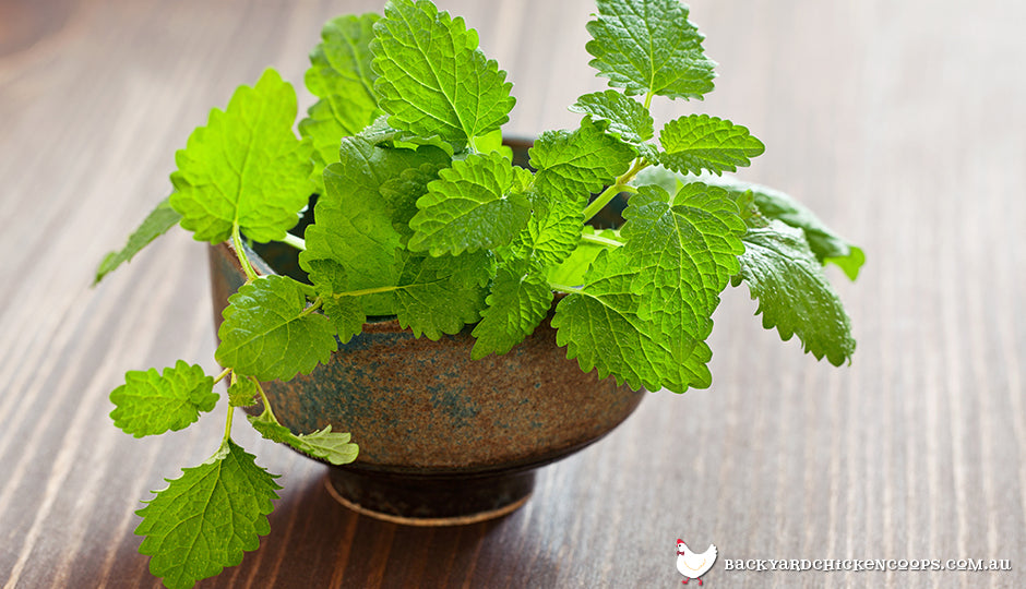 Lemon balm growing in pestle pot