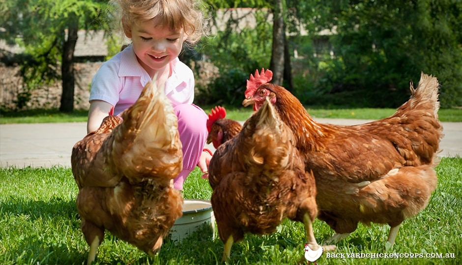little-girl-feeding-isa-brown-chickens